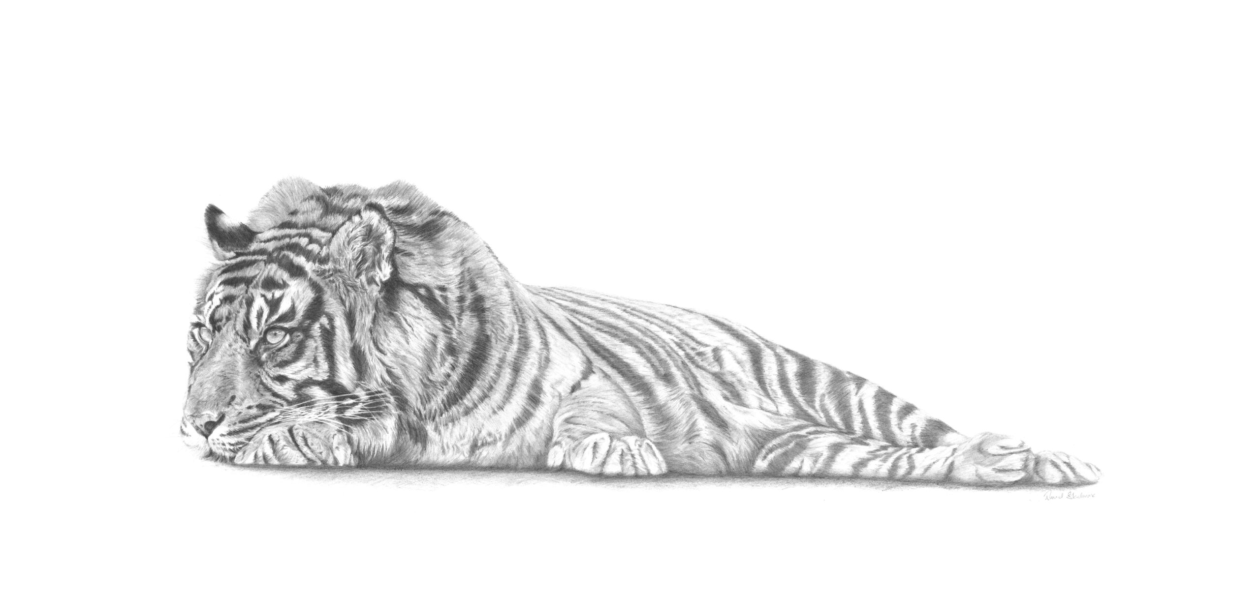 Arresting Tiger By David Skidmore – 98 x 43cm - graphite pencil on Fabriano Artistico hot press paper - £599