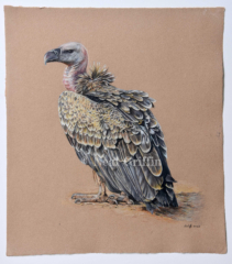 'Ruppell's Griffon Vulture' By Neal Griffin - coloured pencil on handmade paper - 51cm x 46cm - £295 (inc Frame)