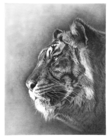 Tigers Gaze By David Skidmore – 35 x 46cm - graphite pencil on Fabriano Artistico hot press paper - £750