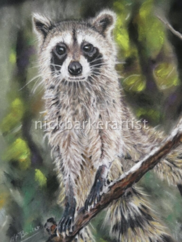 'Raccoon' By Nick Barker - Pastel - 43cm x 51cm - £300 (inc frame)