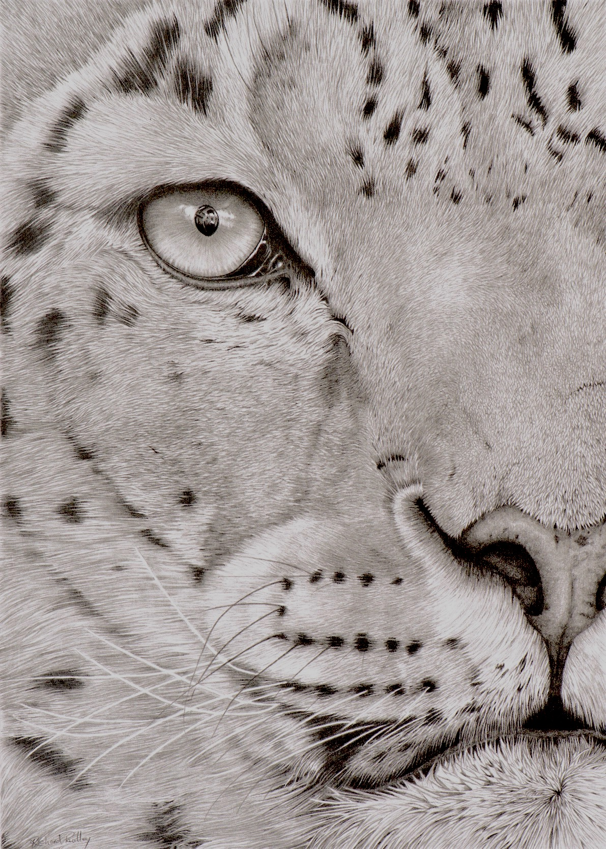 Snow Leopard By Richard Paulley - Graphite - Framed Original - 50x63cm - £350