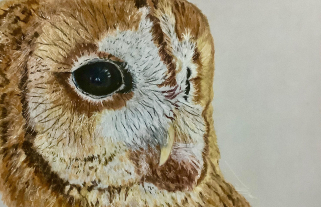 Tawny Owl By Carolynne Winchester - Coloured Pencil - Framed - 33.5x38.5cm - £125