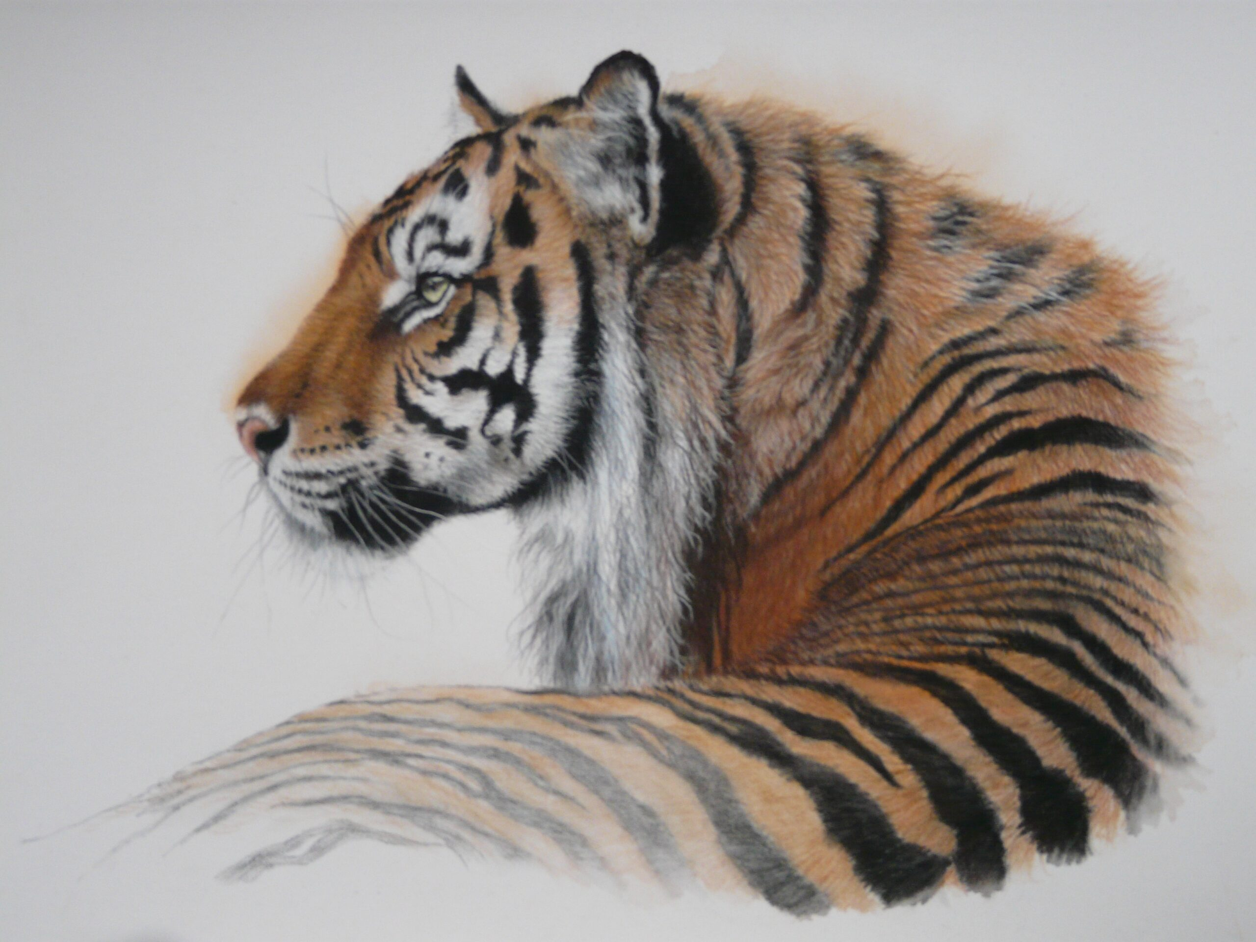"""Vanishing colours"" By Kerry Vaughan Original tiger pastel. Framed 53x43 cms. £350 plus p&p"
