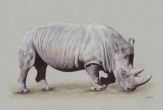 """Browsing Rhino by Helen Clifford - coloured pencil - 12"""" by 8"""" plus mount - £120"""