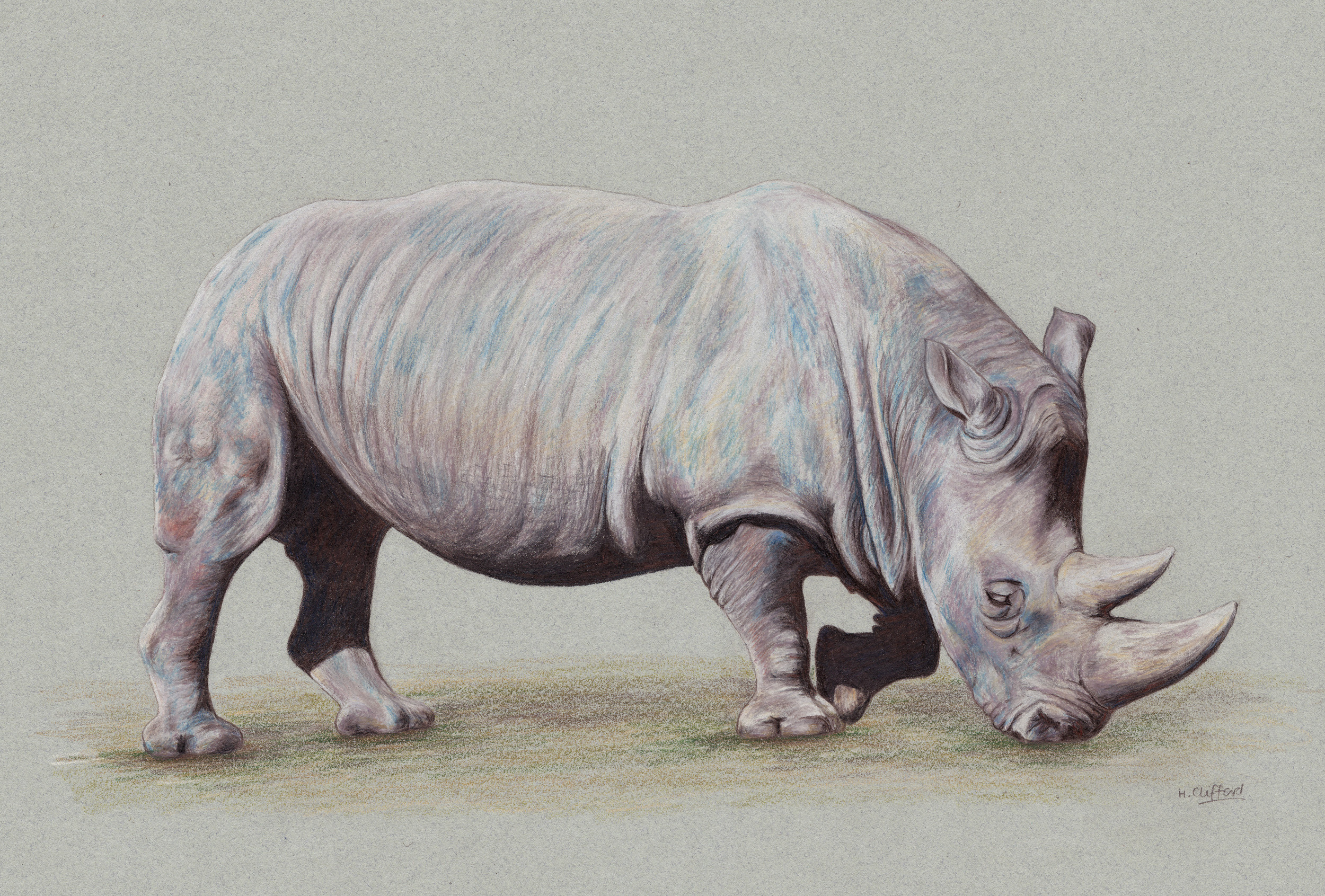 "Browsing Rhino by Helen Clifford - coloured pencil - 12"" by 8"" plus mount - £120"
