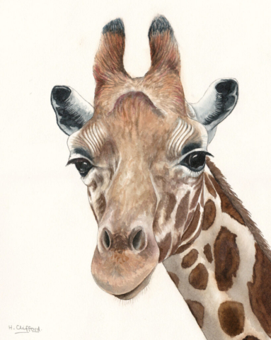 "Giraffe by Helen Clifford - watercolour - 10"" by 14"" plus mount - £120"