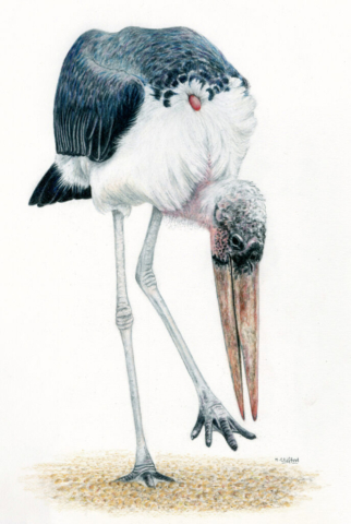 "Marabou Stork by Helen Clifford - coloured pencil - 10"" by 14"" - £120"