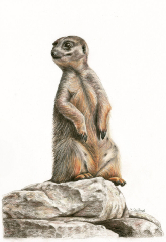 "Meerkat on Watch by Helen Clifford - coloured pencil - 8"" by 12"" plus mount - £120"