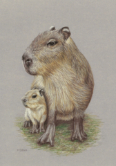 """Watch With Mother (Capybara) - by Helen Clifford - coloured pencil - 7"""" by 10"""" plus mount - £90"""