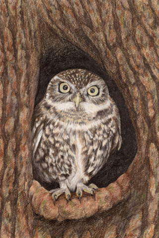"Whooo (Little Owl) - by Helen Clifford - coloured pencil - 8"" by 12"" plus mount - £120"